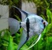 Скалярия голубая жемчужная фото