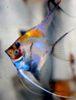 Скалярия рейнбоу (радужная) фото