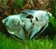 Купить скалярии (фото скалярии) : голубая скалярия